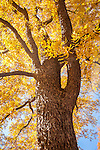 Pecan tree in the Arnold Arboretum, Boston, MA
