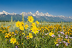 Mule's ears, backdropped by the Tetons, bloom on the sageflats in Grand Teton National Park, Wyoming.