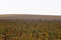 The peloton near a camp of sunflowers during the stage of La Vuelta 2012 beetwen Penafiel-La Lastrilla.September 7,2012. (ALTERPHOTOS/Paola Otero) /NortePhoto.com<br /> <br /> **CREDITO*OBLIGATORIO** *No*Venta*A*Terceros*<br /> *No*Sale*So*third* ***No*Se*Permite*Hacer Archivo***No*Sale*So*third