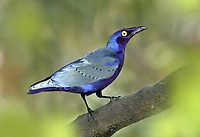 Purple Glossy-starling - Lamprotornis purpureus<br /> aka Purple Starling