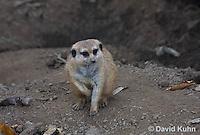 0329-1014  Meerkat, Suricata suricatta  © David Kuhn/Dwight Kuhn Photography.