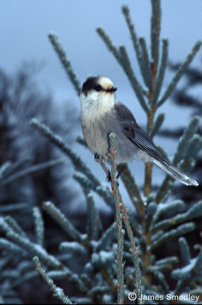 Grey jay or whiskey jack songbird perched on a spruce tree