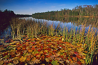 Autumn Leaves, Batsto River, Wharton State Forest, New Jersey