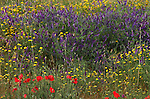Wild flower meadow, Provence, yellow, purple and red flowers.France....