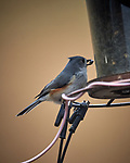 Tufted Titmouse. Image taken with a Nikon D5 camera and 600 mm f/4 VR lens (ISO 800, 600 mm, f/4, 1/1250 sec)