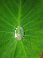 A kalo (or taro) leaf with a single water droplet, Waipi'o Valley, Big Island.