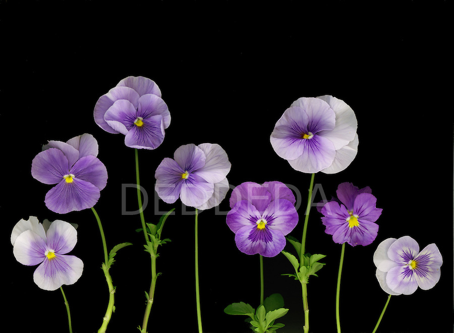 Purple pansies from my garden.