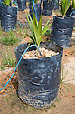 A close-up of a oil palm seedling. This on-site oil palm tree nursery uses drip irrigation to water the potted plants, conserving water and preventing erosion. The Sindora Palm Oil Plantation, owned by Kulim, is green certified by the Roundtable on Sustainable Palm Oil (RSPO) for its environmental, economic, and socially sustainable practices. Johor Bahru, Malaysia on-site oil palm tree nursery uses drip irrigation to water the potted plants, conserving water and preventing erosion. The Sindora Palm Oil Plantation, owned by Kulim, is green certified by the Roundtable on Sustainable Palm Oil (RSPO) for its environmental, economic, and socially sustainable practices. Johor Bahru, Malaysia]