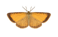 70.220 (1899)<br /> Frosted Yellow - Isturgia limbaria