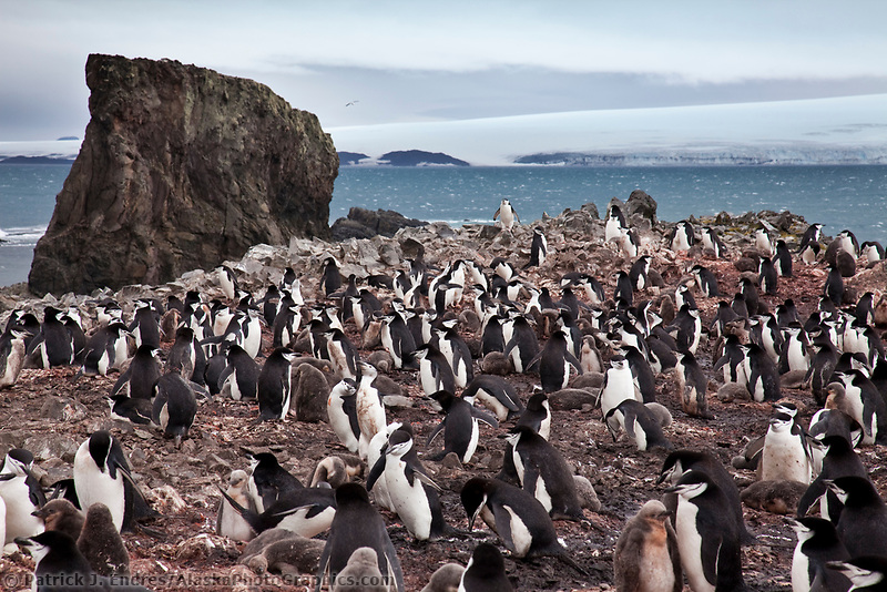 Chinstrap penguins, Hannah Point, Livingston Island, South Shetland Islands, Antarctica.