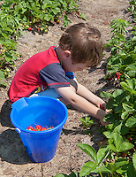 Boy picking strawberries