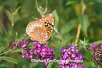 03322-017.04 Great Spangled Fritillary (Speyeria cybele) on Butterfly Bush (Buddleia davidii) Marion Co. IL