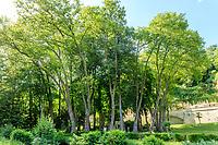 France, Indre-et-Loire (37), Amboise, château Gaillard, groupe de grands platanes