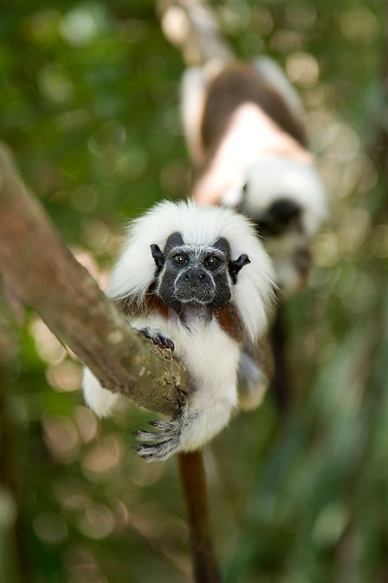 Wild Cotton-top tamarins (Saguinus oedipus) resting on a vine in the dry tropical forest of Colombia.<br />