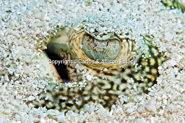 Urobatis jamaicensis, Yellow stingray, Florida Keys,