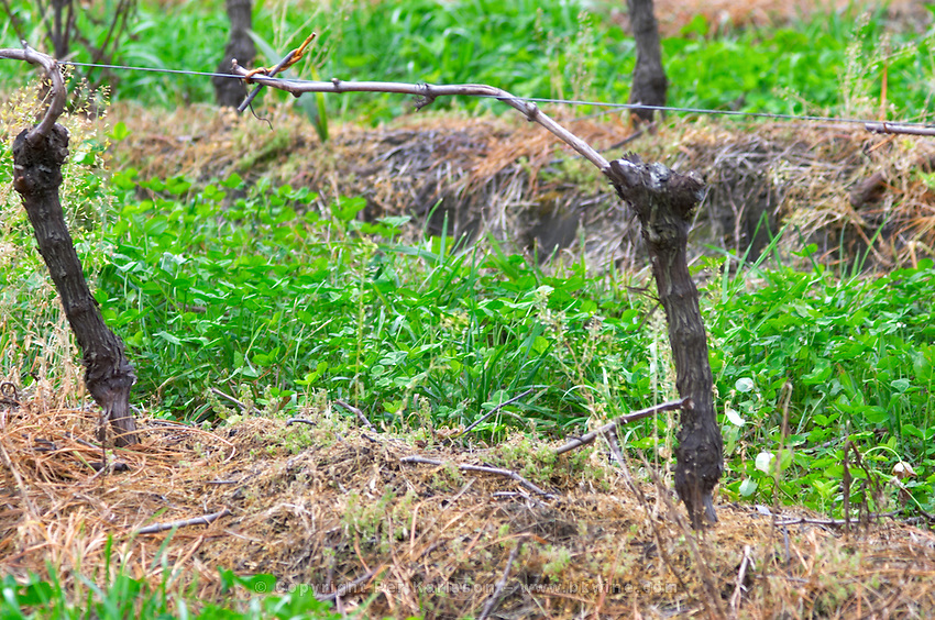 In the vineyard, a vine trained in Guyot simple and cuttings on the soil to recycle bio-material. Bodega Vinos Finos H Stagnari Winery, La Puebla, La Paz, Canelones, Montevideo, Uruguay, South America