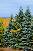Spruce trees grow along the border of Grand View LandTrust Park with the fall color on the Ellison Bay bluff in the background, Door County, Wisconsin