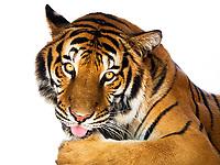Tiger Portrait, Thailand