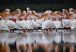 Great white pelicans, Lake Nakuru, Kenya