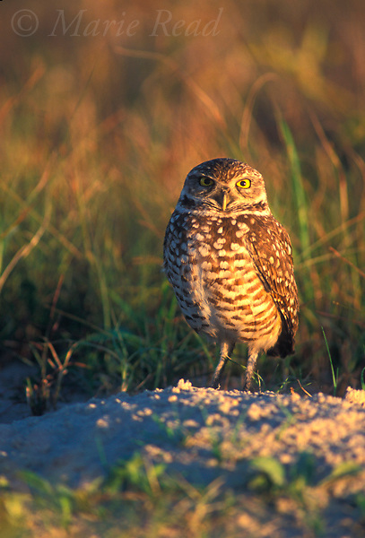 Burrowing Owl (Speotyta cunicularia) perched near its burrow, Florida, USA<br /> Slide # B70-53