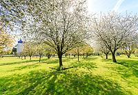 France, Indre-et-Loire, Lémeré, jardins et château du Rivau au printemps (avril), le verger de cerisiers