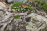 butterfly, Painted Lady, Vanessa cardui, moss campion, Silene acaulis, and lichen on rocks of Flattop Mountain, Rocky Mountain National Park, Colorado, USA