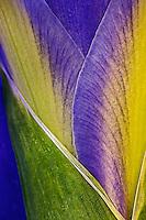 Close-up of Iris blossom.