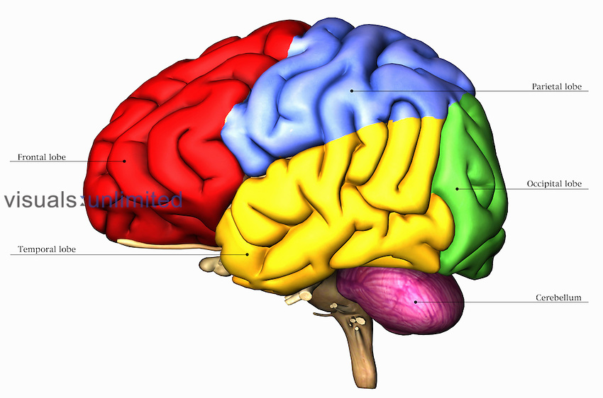 Anatomical illustration of the human brain viewed from the left side ...