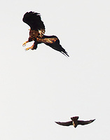 Golden eagle attacked by prairie falcon
