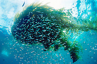 schooling juvenile fish, .sheltering under drifting kelp paddy, .San Diego, California (E. Pacific).