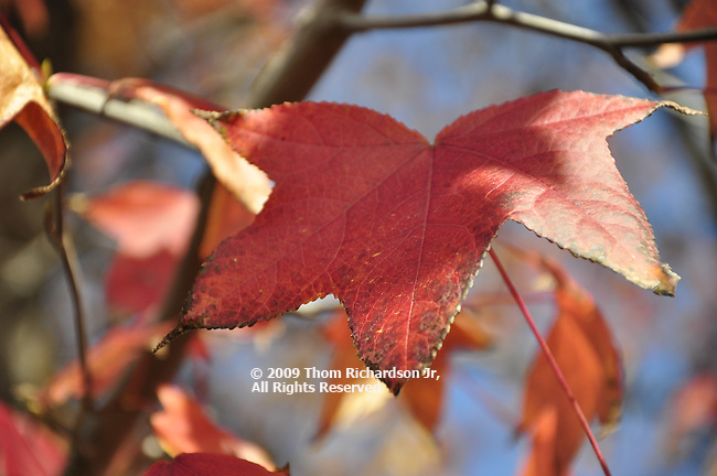 Leaves, Autumn Leaves