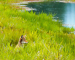 A coyote is sitting out in the grass looking out over the stream in the Ridgefield National Wildlife Refuge