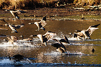 Canadian geese, Branta canadensis, landing on Delgian Pond in autumn at Camp Saratoga in the Wilton Park And Preserve in Wilton, New York