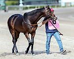 HALLANDALE BEACH, FL - December 30: #8 Infobedad (ARG) trained by Neil D. Drysdale brought to paddock at Gulfstream Park on December 30, 2017 for the H. Allen Jerkens Stakes.  Hallandale Beach, FL. (Photo by Bob Aaron/Eclipse Sportswire/Getty Images)