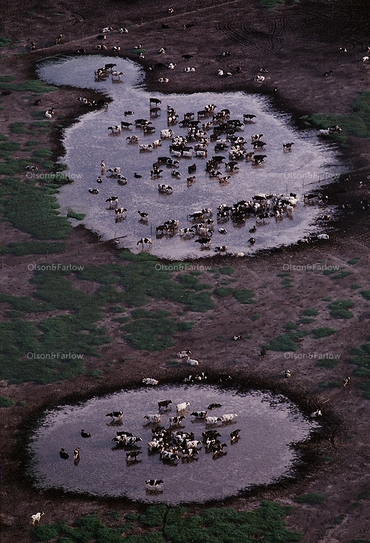 Hundreds of cows cool in water on daries along the Suwannee River. Rising nitrate levels -- most likely from farms and homes <br /> in the region -- cause concerns about the nutrient's effect on the environment and public health. <br /> <br /> The Suwannee River basin is characterized by karst wetland and lowland topography with springs. In addition to making drinking water unsafe, high nitrate concentrations can lower water quality in rivers and springs, causing algae blooms that consume oxygen needed by fish and <br /> other aquatic animals. <br /> <br /> The basin, which includes Lafayette and Suwannee counties, has hundreds of residential and commercial septic systems in rural areas, about 300 row crop and vegetable farms, 44 dairies with more than 25,000 animals and 150 poultry operations with more than 38 million birds.