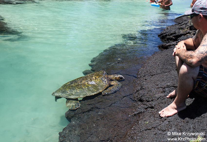 Turtle near people at Richardson Beach Park, Hilo, Big Island, Hawaii
