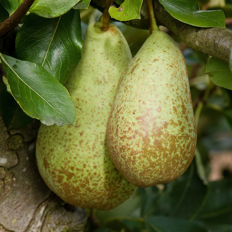"Pear 'Duchesse d'Angouleme', early September. A heritage French pear. ""The original tree of this cultivar grew in a garden near Angers, Maine-et-Loire, France. In 1808, after he became intrigued by the beauty and quality of the pear, M. Audusson obtained the right to propagate it. In 1812 he sold the trees under the name 'Poires des Eparonnais', a name that lasted only eight years. In 1820, M. Audusson sent a basket of the fruit to the Duchesse d' Angouleme and requested that he be given permission to name the pears in her honor. The request was granted."" ('The Pears of New York' by U. P. Hedrick, 1921)"