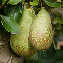 """Pear 'Duchesse d'Angouleme', early September. A heritage French pear. """"The original tree of this cultivar grew in a garden near Angers, Maine-et-Loire, France. In 1808, after he became intrigued by the beauty and quality of the pear, M. Audusson obtained the right to propagate it. In 1812 he sold the trees under the name 'Poires des Eparonnais', a name that lasted only eight years. In 1820, M. Audusson sent a basket of the fruit to the Duchesse d' Angouleme and requested that he be given permission to name the pears in her honor. The request was granted."""" ('The Pears of New York' by U. P. Hedrick, 1921)"""
