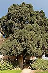 Israe, the Galilee. Cypress tree in the Bahai Garden near Nahariya