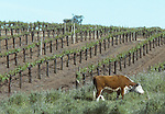 Hereford cattle and vineyard, Sonoma Valley