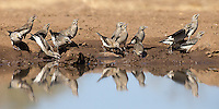 Wattled starlings visited the Mashatu hide for a drink.