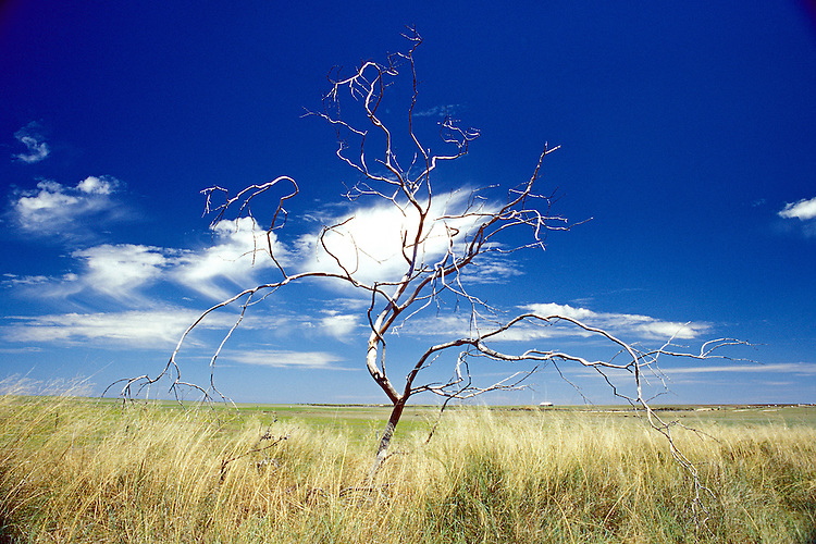 Skeleton of a dead tree Hay Plane, New South Wales, Australia.