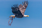 USA, Alaska, Glacier Bay National Park , bald eagle (Haliaeetus leucocephalus) with octupus