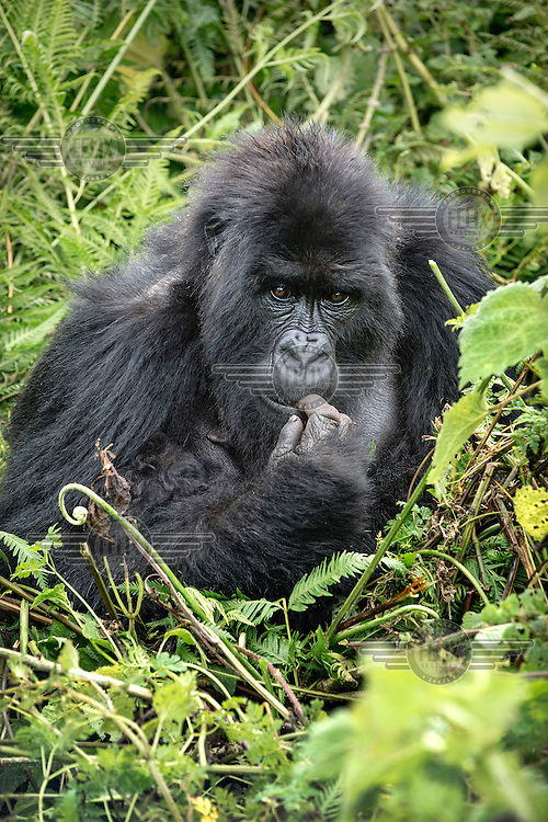 A gorilla sits in the undergrowth in Volcanoes National Park, previously known as Ruhengeri.