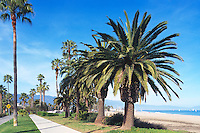 Santa Barbara, California, USA - Palm Trees growing in Shoreline Park along Shoreline Drive and Waterfront Beach