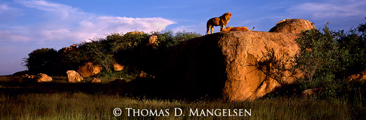 A lion pair on a rock outcropping in Serengeti National Park, Tanzania.