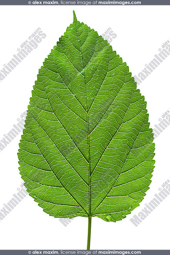 Big green tree leaf texture isolated on white background