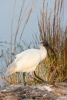 Black-Headed Ibis, Threskiornis melanocephalus, in Ranthambhore National Park, Rajasthan, Northern India