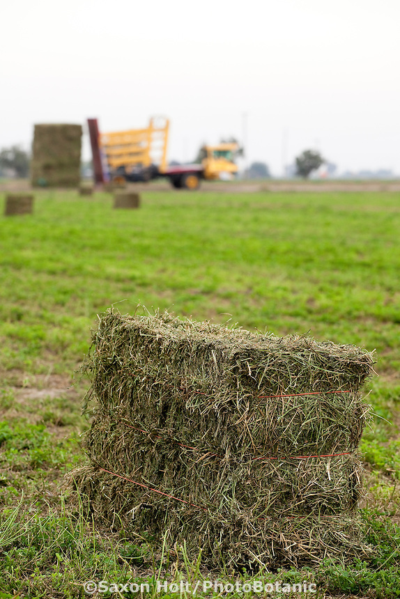 Alfalfa hay bale, harvested, tied, and ready for stacking in field