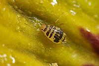 Gefleckte Gewächshauslaus, Gefleckte Gewächshaus-Laus, Gefleckte Gewächshaus-Blattlaus, Aulacorthum circumflexum, Aulacorthum circumflexus, Neomyzus circumflexus, Myzus circumflexus, arum aphid, Crescent-marked lily aphid, mottled arum aphid